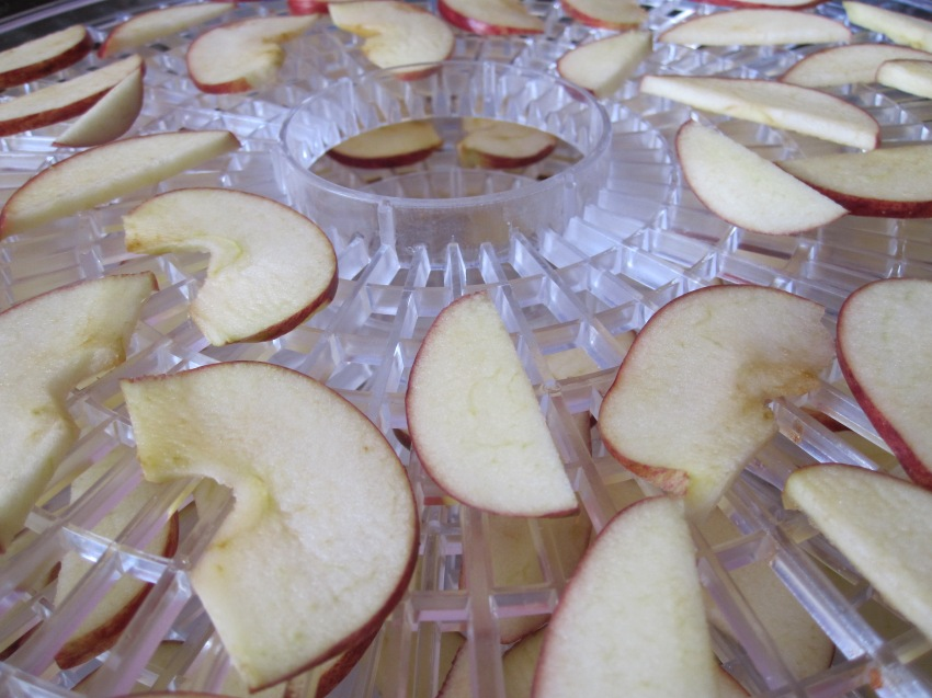 Fresh apple slices entering the dehydrator.